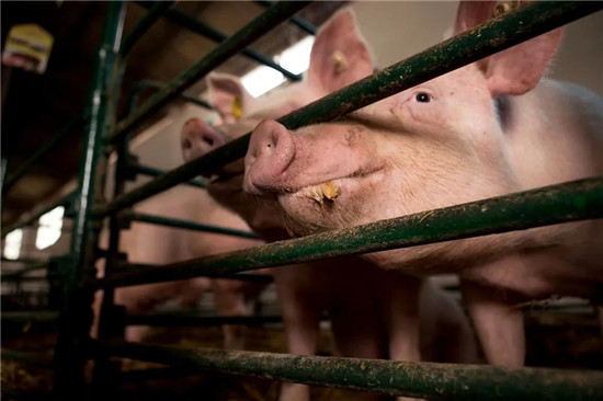 猪的眼睛有这3个变化时,是发病的信号,养猪朋友要重视