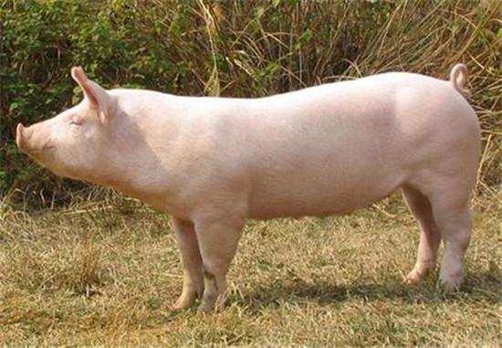用酵母养好猪!你真的懂酵母么?