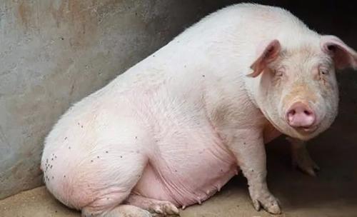 母猪产前低温不吃料怎么办?十年老兽医分享最全解决方法