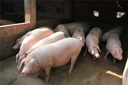 熬死千万脑细胞,猪预防疾病不可忽视的内容!