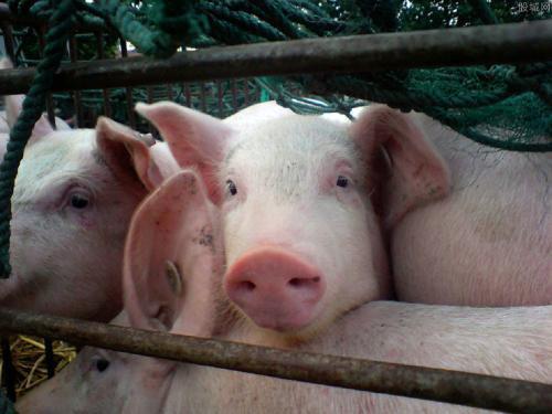 猪身上起红痘是圆环?猪逗?湿疹?你怎么看!