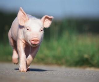 收藏!猪咳嗽、关节炎等14种猪病治疗中药方!