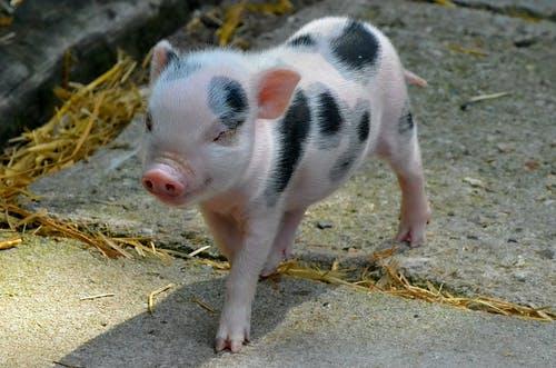 了解猪的这些行为特点,养猪就容易了!