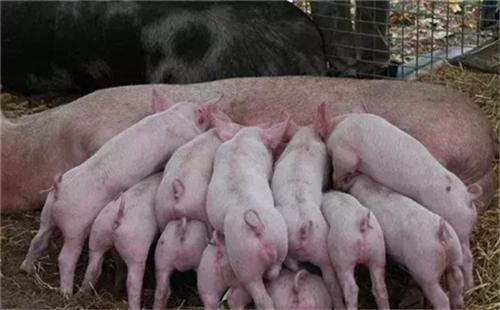 解决初产母猪咬仔猪的六大方法!!