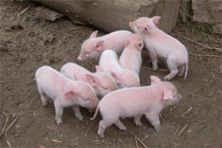 俗话说:难养三十,易养一百,肥猪如何安全度过三十难养这一关