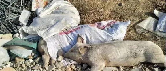 太可怕!河畔惊现死猪!已确定感染病毒?