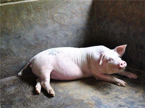 引起猪跛足的原因,及预防和治疗的方法!
