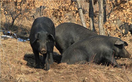 北方养猪之冬季养猪三要素