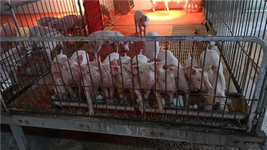 深圳将建设3000万头生猪养殖基地