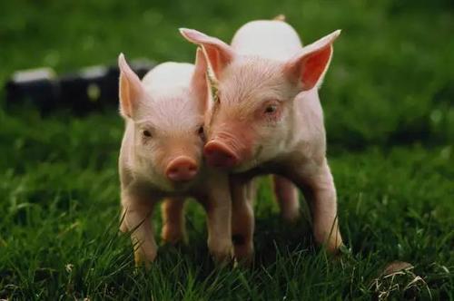 021年全国生猪缺口将达