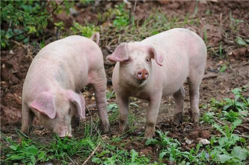 """资本养猪要避免""""一哄而起一哄而散"""""""