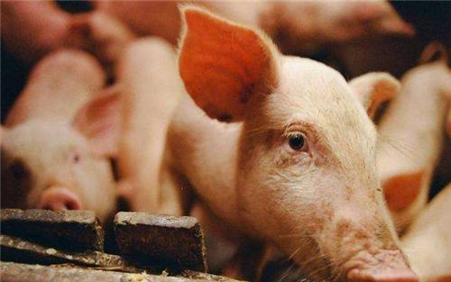 猪价持续暴跌,3涨4平24跌,春节前大涨的缓冲?