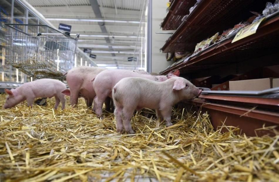 猪不吃东西,耳朵发蓝,是蓝耳病吗?