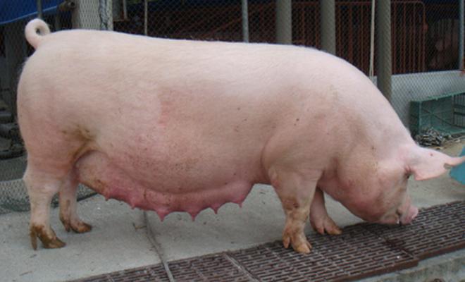 母猪生产管理
