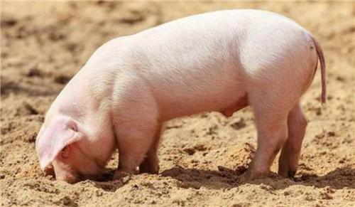 母猪出现这个症状,就值得注意了,特别是秋冬季更多见