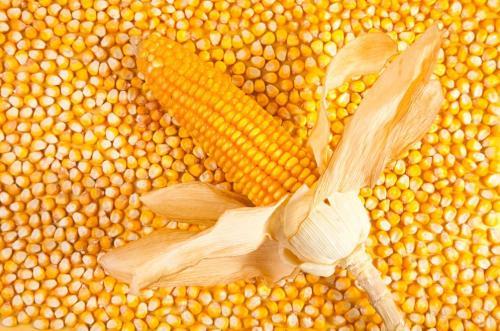 运输成本增加,供需不足……玉米价格高居不下!