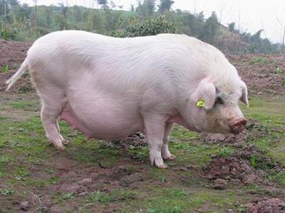 母猪产后无乳的30种催奶方法