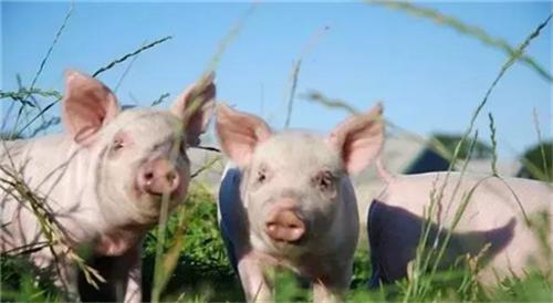 猪价再度走跌 近期频繁涨跌成为常态