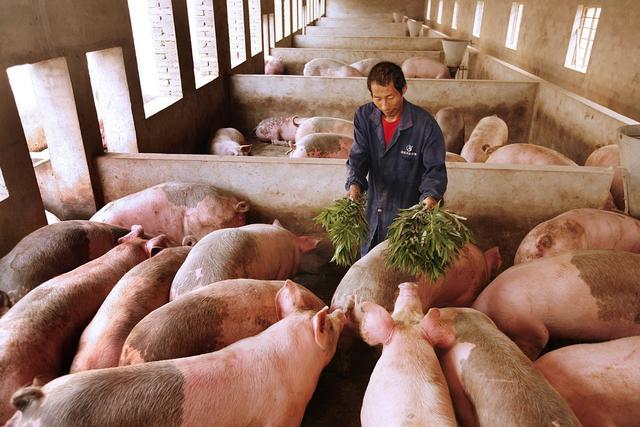 猪价呈现大部下跌,东北地区有回升迹象