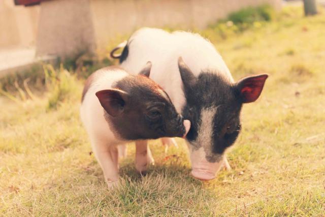 广东全年需外调生猪约1000万头 政协委员称生猪供需形势严峻