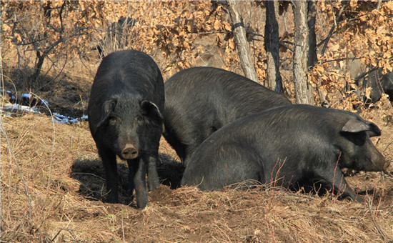 生猪价格最新涨跌行情,春节前猪价还能降下来吗?