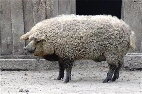 为什么要给猪人工授精,人工授精比之本交授精有哪些优点呢?