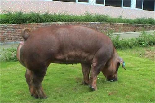 育肥猪为什么会突然死亡?育肥猪突然死亡的原因!