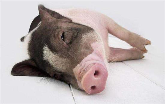 猪价下跌现象明显增多,高价猪源依旧销售难度大