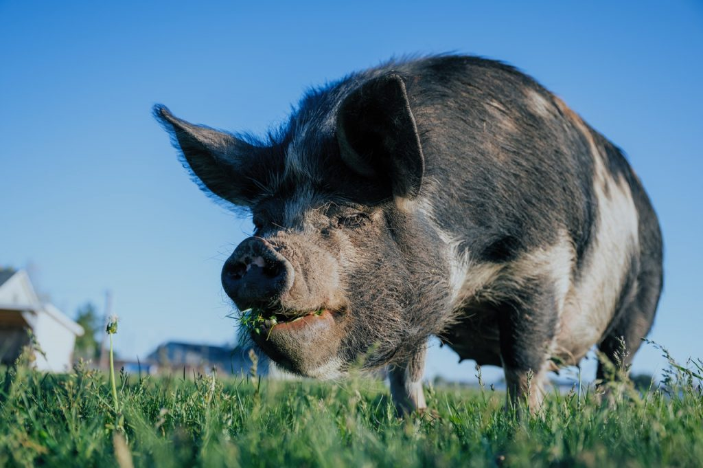 猪有哪些特殊的生理机能和生活习性?
