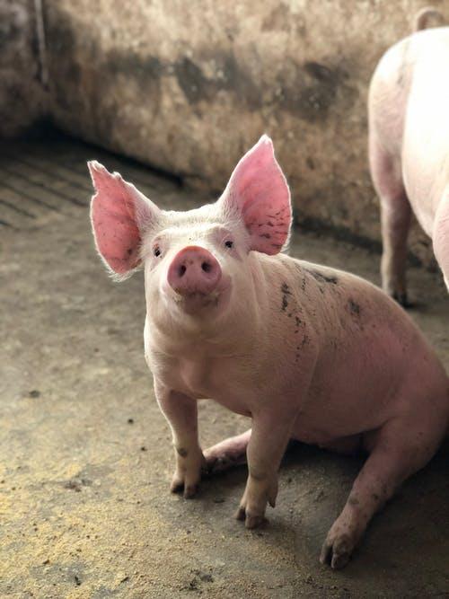 母猪产房接产员操作流程