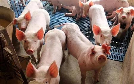 猪病杂谈|猪异嗜癖病的防治