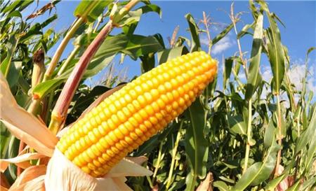 玉米价格坚挺,市场看涨情绪明显