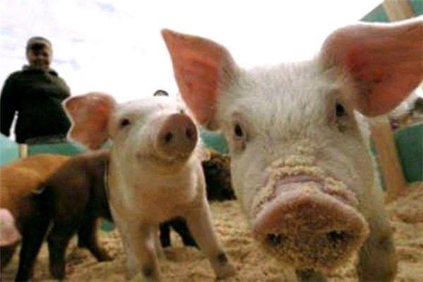 如何治疗猪附红细胞体病???