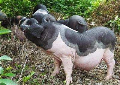 猪生病前的几个征兆!养殖人员必看!