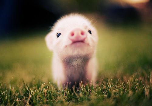 消费旺季猪价一跌再跌,究竟有何内幕?