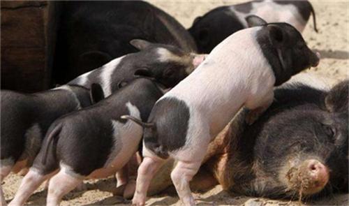 容易被忽视的母猪亚健康具体有什么危害?
