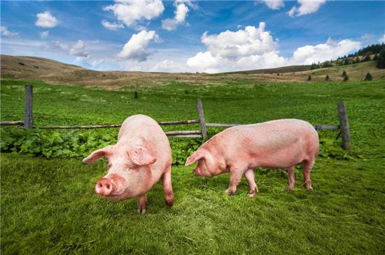 业内:预计后市猪价缓跌概率较大 但趋势总体向下是没问题