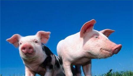 """月18日猪价:开工第一天猪价就大幅下跌,猪价还有上涨可能吗?"""""""