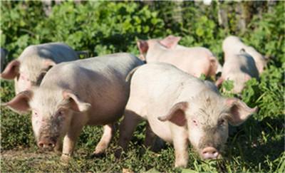 猪群发病用药后效果不理想,甚至死亡率增加,是什么原因?