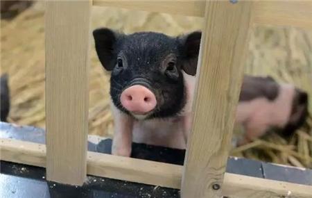 农谚里的养猪科学——难养三十,易养一百