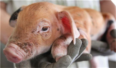 养猪:最怕母猪得这两种病,可造成母猪不孕而被迫淘汰!
