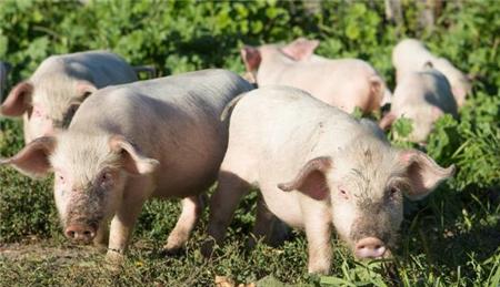 养猪场常备这些兽药,遇到疾病心不慌