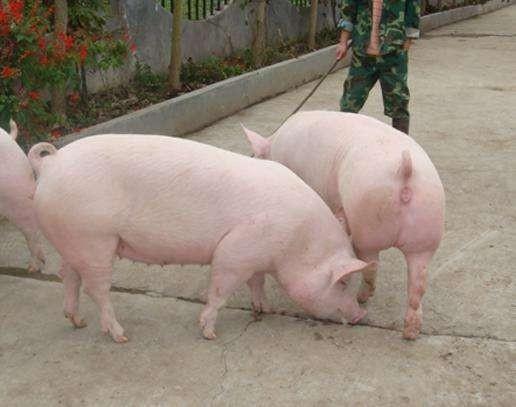 气温骤降,这3种猪病进入高发期,养猪人你知道怎么防治吗?