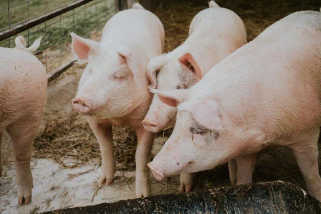 猪肉市场价再难恢复去年的高位水平,猪肉变平价