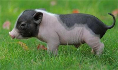 养猪时常见的错误喂养行为有哪些?