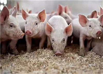 猪连续发烧而且大便干燥怎么办?又该如何治疗?