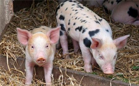 猪群做了腹泻疫苗还腹泻,如何快速判断?准确用疫苗