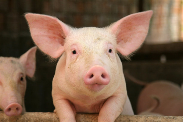 猪几种常见营养代谢病及其预防