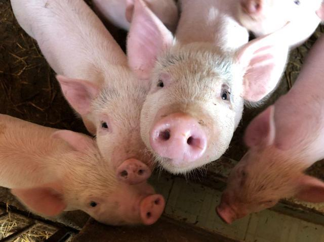 母猪饲养10大要点,超级实用