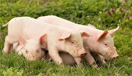 猪价新一轮下跌已经来临,按照去年的情形,猪肉20块一斤有望了